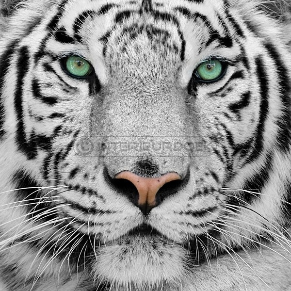 zwart tijger reu